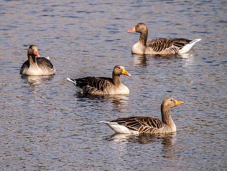Greylag Goose, Goose, Water Bird, Bird, Nature, Animal