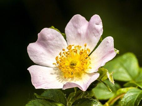 Wild Rose, Flower, Blossom, Bloom, Plant, Nature