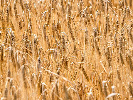 Cereals, Cornfield, Field, Plant, Nature