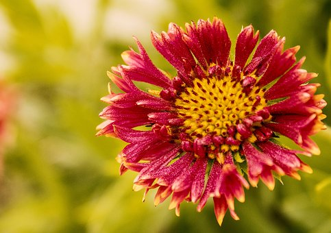 Flower, Red Flower, Red, Nature, Yellow, Green, Plant