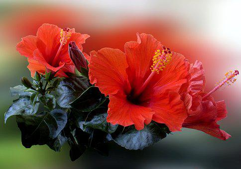 Hibiscus, Flower, Blossom, Bloom, Red, Plant, Nature