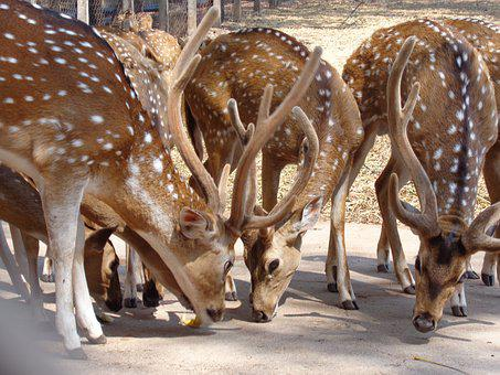 Deer, India, Wildlife, Forest, Park, Natural, Asia