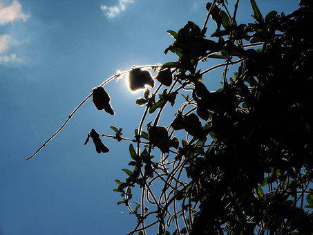 Ivy, Sun, Creepers, The Sky, Silhouette