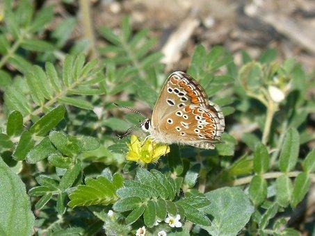 Butterfly, Wild Flower, Libar, Scolitantides Orion