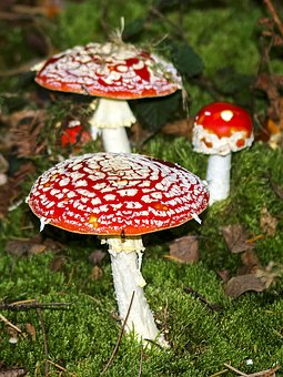 Mushroom, Fly Agaric, Nature, Forest