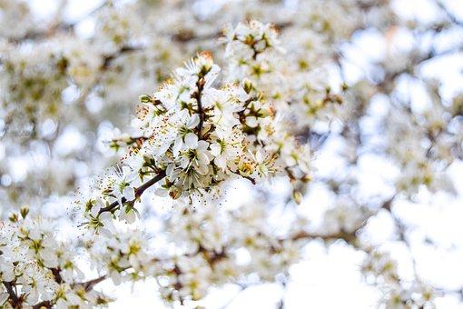 Blossom, Spring, Flower, Nature, Tree, Bloom, Plant