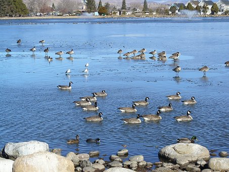 Pond, Canadian Geese, Migration