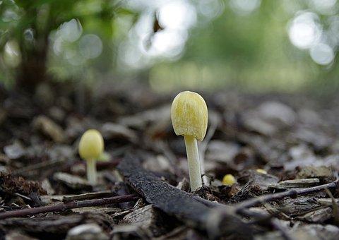 Mushrooms, Yellow, Small, Minor, Plating, Forest, Macro