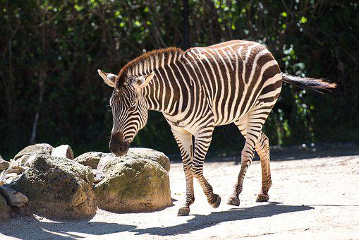 Zebra, Stripes, Striped, African, Animal, Wildlife