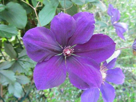 Hibiscus, Flower, Nature, Violet, Blossom, Bloom