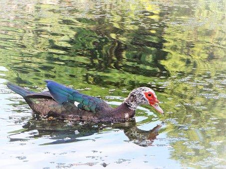 Duck, Of, Walk, Lake