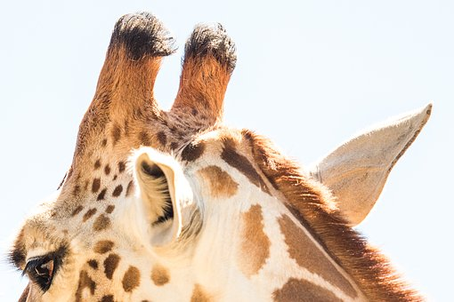 Giraffe, Animal, Zoo, Wildlife, Africa, Mammal, Fauna