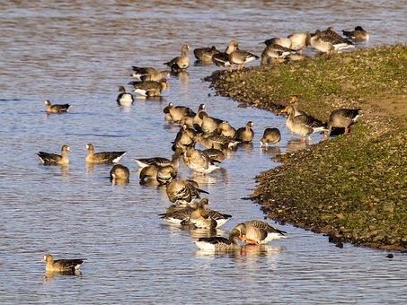 Goose, Geese, Water Bird, Bird, Nature, Animal