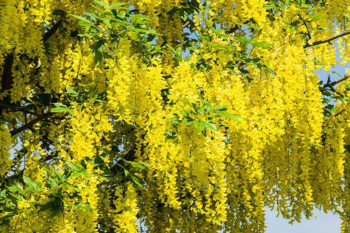 Laburnum, Background, Beautiful, Bloom, Blue, Botanical
