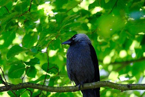 Jackdaw, Bird, Black, Raven Bird, Foraging, Curious