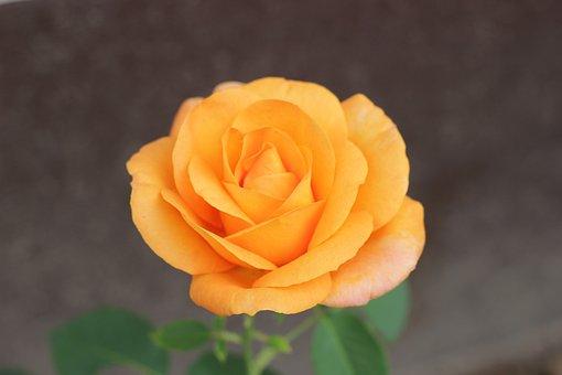 Orange Rose Golden Medal, Floral, Blooming, Garden