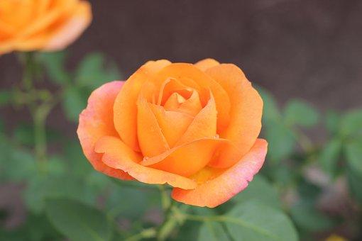 Orange Rose Golden Medal, Blooming, Garden, Romantic