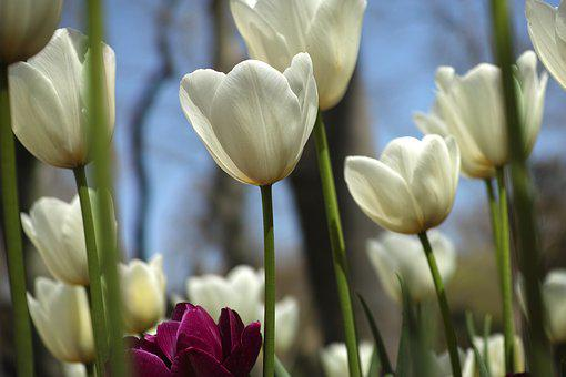 White, Flower, Tulips, Spring, Flowers, Nature, Plant