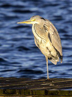 Heron, Grey Heron, Bird, Water Bird, Nature, Animal
