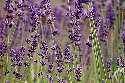 Lavender, Lavender Flowers, Fragrance, Nature, Flowers