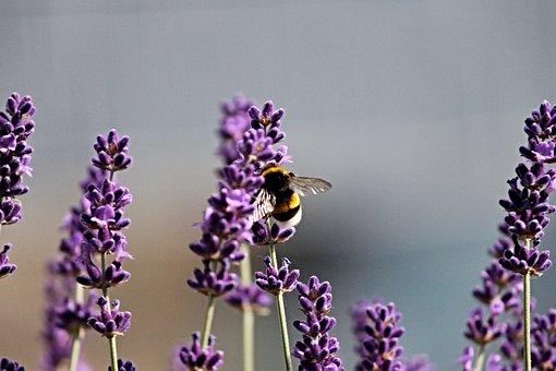 Hummel, Lavender, Insect, Violet, Nature, Summer