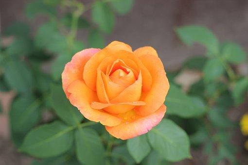 Orange Rose Golden Medal, Blooming, Garden, Leaf, Love