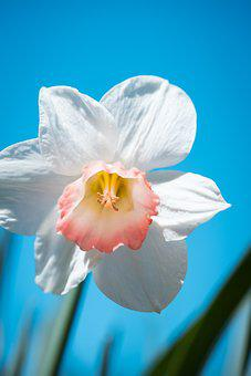 Narcissus, Flower, Spring, Close, Plant, Daffodil