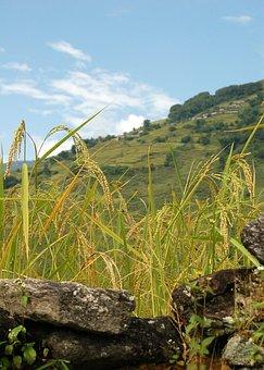 Nepal, Rice Field, Rice, Asia, Mountain, Paddy