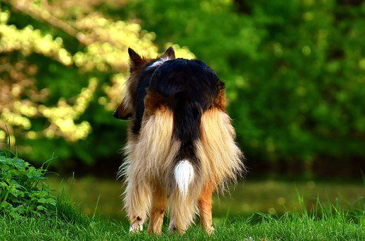 Collie, Dog, Animal, Pet, Animal Portrait, Dear