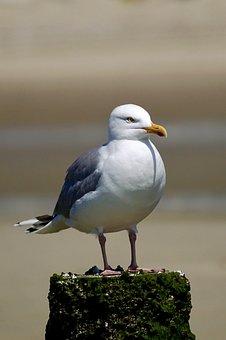 Gull, Sit, Bird, Animal, Recover, Beach, Rest