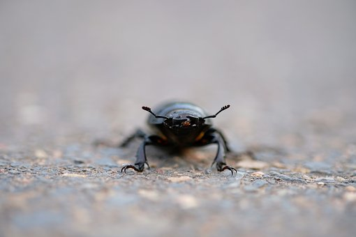 Stag Beetle, Beetle, Insect, Probe, Legs, Nature, Crawl