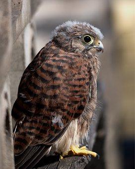Kestrel, Bird Of Prey, Bird, Wildlife, Nature, Prey