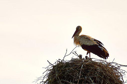 Estonia, Stork, Bird, Nest, Chicks, Storchennest