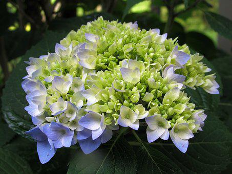 Flower, Hydrangea, Plant, Green