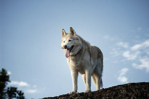 Siberian, Husky, Dog, Animal, Pet, Cute, White, Young