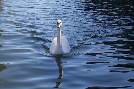 Swan, Duck, Water, Nature, Bird, Wildlife, Beak, Lake
