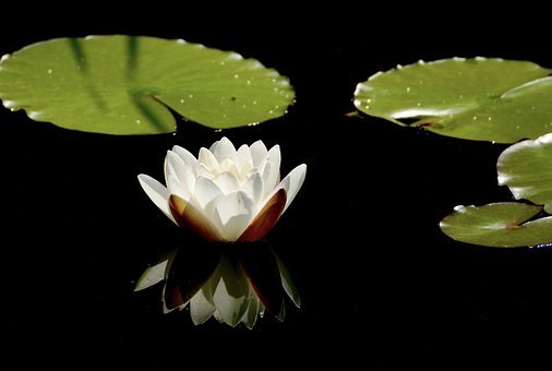 Water Lily, White, Blossom, Bloom, Flower, Pond, Nature