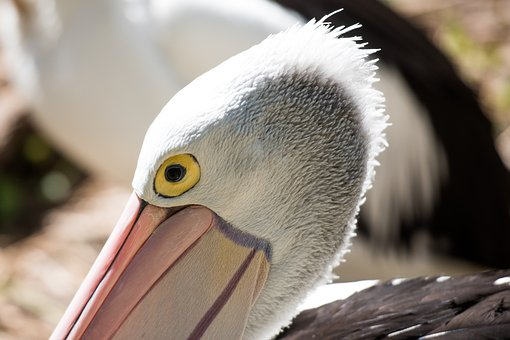 Pelican, Eye, Bird, Wildlife, Animal, Feather, Head