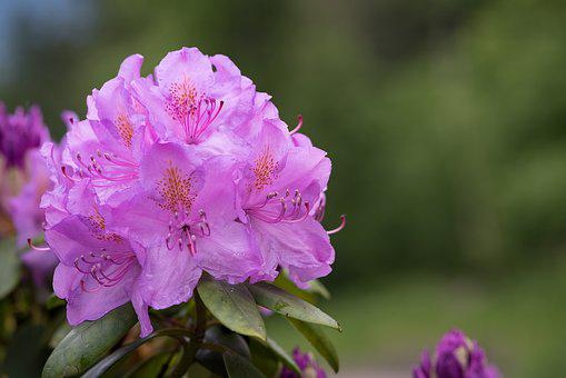 Rhododendrons, Plant, Rhododendron, Spring, Nature