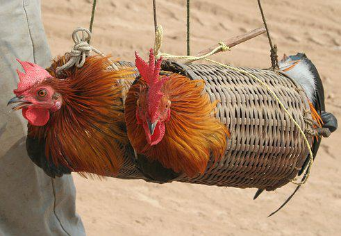 Trapped, Chicken, Cage, Rooster, Birdcage, Animal, Asia