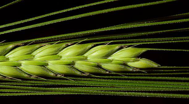 Barley, Close, Cereals, Ear, Grain, Nourishing Barley
