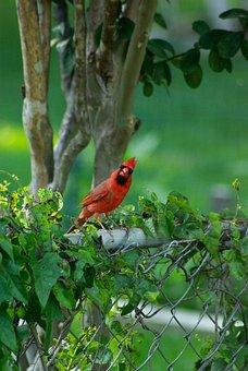 Bird, Cardinal, Wildlife, Colorful, Natural, Songbird