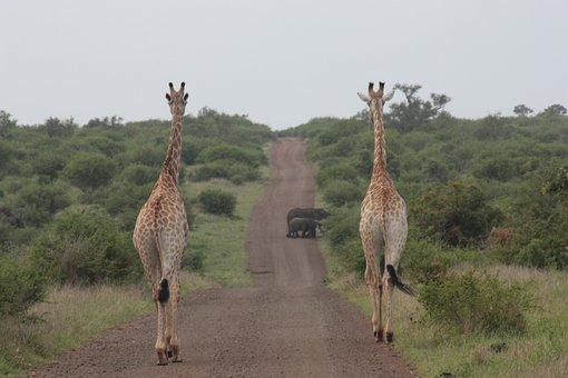 Giraffe, Elephant, Nature, Safari, Wildlife