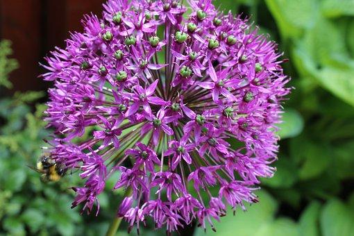 Allium, Flower, Ornamental Onion, Plant, Garden, Floral