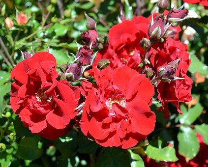 Rose, Floribunda, Blossom, Bloom, Rose Bloom