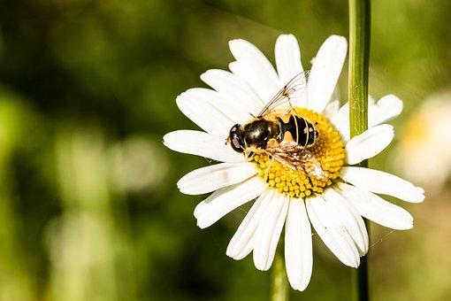 Hoverfly, Eristalis Tenax, Mist Bee, Fly, Mud Bee