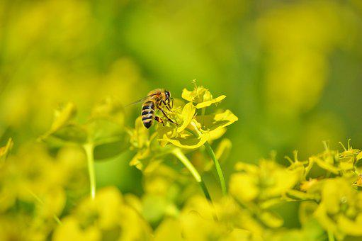 Bee, Insect, Blossom, Bloom, Pollination, Pollen