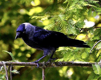 Bird, Jackdaw, Black, Raven Bird, Nature, Animal