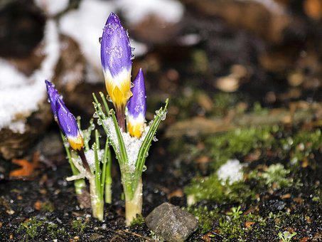 Crocus, Flower, Blossom, Bloom, Plant, Nature