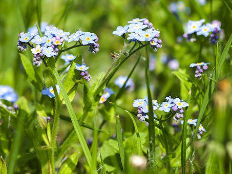 Forget Me Not, Flower, Blossom, Bloom, Plant, Nature